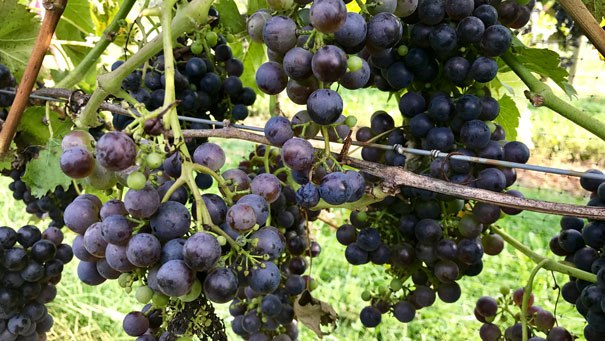 Best Senior Activities Near Glen Arm, Maryland- Boordy Vineyards Grapes