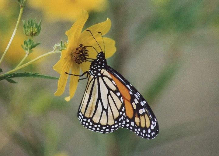 Best Senior Activities Near Glen Arm, Maryland- Cromwell Valley Park Butterfly